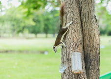 Squirre. L on a tree trunk royalty free stock photo