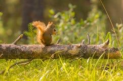 Squirrek que come en la madera con el fondo del bokeh y el sol irradian fotografía de archivo libre de regalías