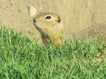 squirrelal suolo Immagini Stock