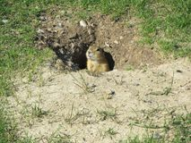 squirrelal suolo Immagini Stock Libere da Diritti