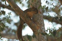 Squirrel в дереве 3 Стоковые Изображения