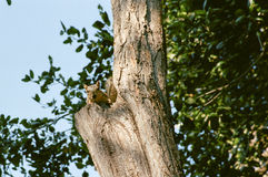 Squirrel в дереве 2 Стоковая Фотография