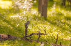 Squirrel еда в древесине с предпосылкой bokeh и лучем солнца Стоковые Фотографии RF