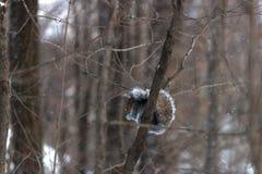 Squirrel еда на ветви в лесе Стоковые Изображения