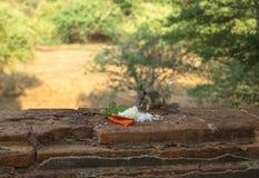 Squirrel еда риса в зоне виска, Bagan-Мьянмы Стоковые Изображения
