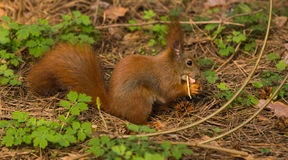 Squirrel лес весны любимчиков красного меха смешной на животном природы предпосылки одичалом тематическом Стоковые Фото