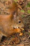 Squirrel лес весны любимчиков красного меха смешной на животном природы предпосылки одичалом тематическом Стоковое фото RF