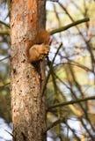Squirrel лес весны любимчиков красного меха смешной на животном природы предпосылки одичалом тематическом Стоковая Фотография RF