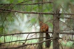 Squirrel лес осени любимчиков красного меха смешной на Sciurus природы предпосылки грызуне одичалого животного тематического vulg Стоковое Фото
