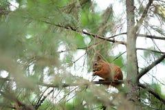 Squirrel лес осени любимчиков красного меха смешной на Sciurus природы предпосылки грызуне одичалого животного тематического vulg Стоковые Изображения