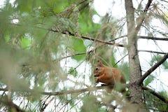 Squirrel лес осени любимчиков красного меха смешной на Sciurus природы предпосылки грызуне одичалого животного тематического vulg Стоковое Изображение RF