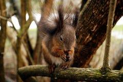 Squirrel еда гайки или конуса на ветви Стоковая Фотография RF