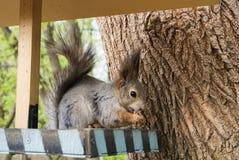 Squirrel и фидер на городе Forest Park, подавая дикие животные на городе Москвы Стоковое Фото