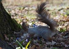 Squirrel красное положение на лесе весны и прятать на голубом fl Стоковые Изображения RF