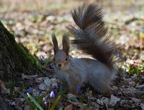 Squirrel красное положение на лесе весны и смотреть камеру Стоковое Изображение RF