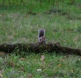 Squirrel наслаждаться гайкой, парком Синглтона, Суонси, Великобританией Стоковые Фото