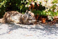 Squirrel прятать в тени на горячей еде дня Стоковые Изображения RF