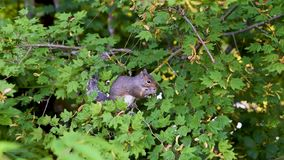 Squirrel сидит на ветви зеленого дерева и ест плодоовощи акции видеоматериалы