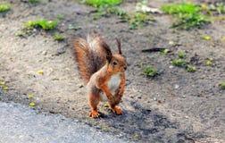 Squirrel скакать в деревья играя в парке Стоковая Фотография