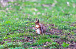 Squirrel скакать в деревья и играть в парке Стоковое Фото