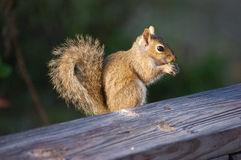 Squirrel 1. A cute squirrel munches on seeds at the Charlotte Harbor Environmental Center stock photo