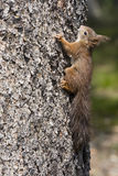 Squirrel. Climbing on a tree Stock Photo
