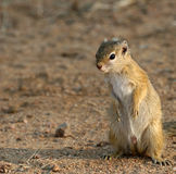 Squirrel. A small squirrel looking for a meal in the Kruger National Park royalty free stock photography