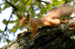 Squirrel. The small squirrel on branch in forest Royalty Free Stock Image
