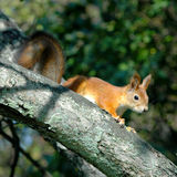 Squirrel. The small squirrel on branch in forest Stock Photo