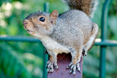 Squirrel. A curious grey squirrel (London, UK Royalty Free Stock Photos