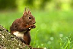 Squirrel Stock Photos