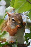 Squirrel. The squirrel is collecting nut stock photos