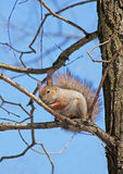 The squirrel. Sits in a tree Stock Photo