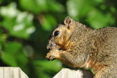 squirrel 库存图片