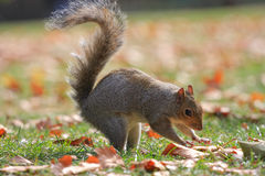 Squirrel Stock Photos