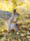 Squirrel. A sqirrel standing on the forest ground Royalty Free Stock Photography