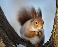 The squirrel. Stock Images