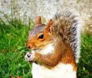 Free Squirrel Stock Images - 11439114