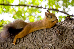 Squirrel. Lying on a tree and eating nuts Royalty Free Stock Images