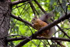 Squirrel. Sitting on a tree and eating nuts Stock Image