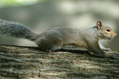 Squirrel. On tree branch stock photo