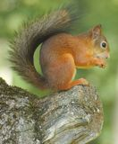 Squirrel. Eating nuts on a tree Stock Photography