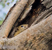 Squirrel. Hides in a hole in a tree stock photography