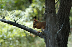 Squirrel. Red squirrel sitting on tree Royalty Free Stock Images