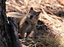 3 squirrel 免版税库存图片