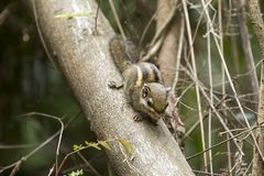 Free Squirrel Royalty Free Stock Photo - 128656425