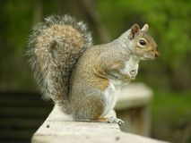 Squirrel. Gray squirrel sitting on a wooden walkway stock photo