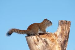Squirrel. Royalty Free Stock Photo