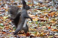 Free Squirrel Stock Photo - 132664890