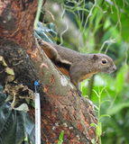 Squirrel. S belong to a large family of small or medium-sized rodents called the Sciuridae. The family includes tree s, ground s, chipmunks, marmots (including stock image